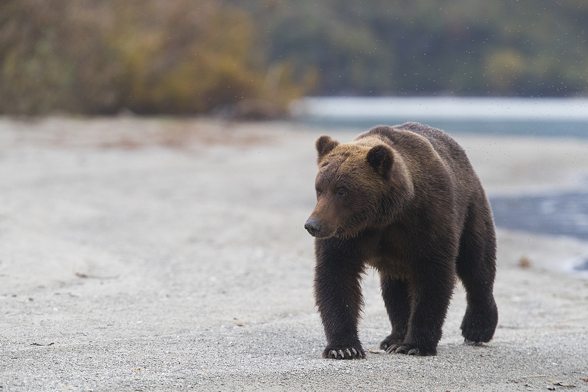 Alaska-Oso Pardo-(Ursus Arctos) - Alaska - Iñigo Bernedo, Fotografía