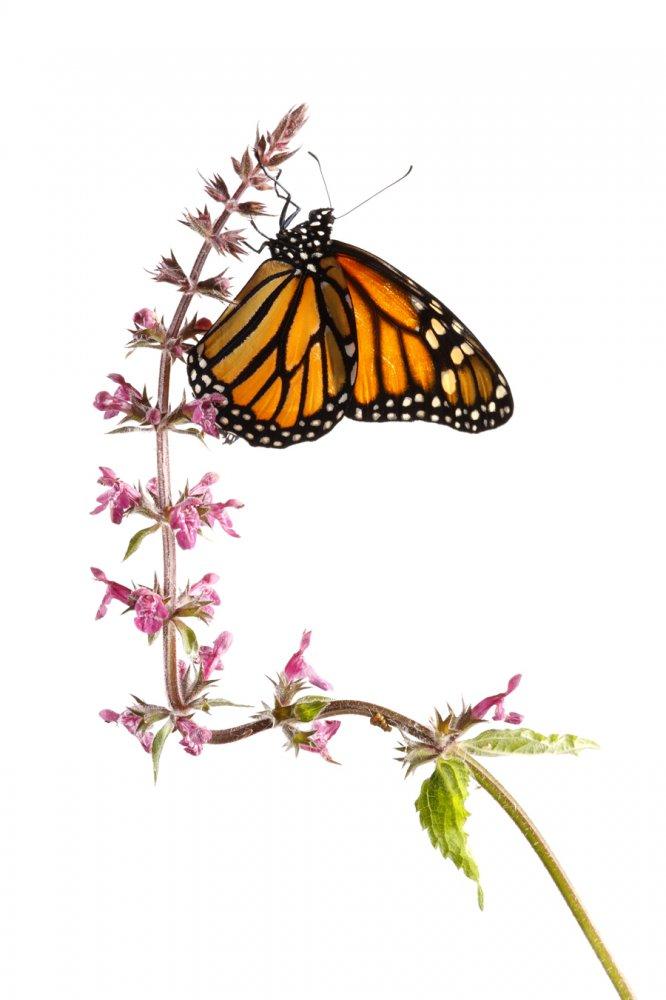 Mariposa Monarca-Monarch Butterfly -(Danaus Plexippus) - Estudio en el Campo - Iñigo Bernedo, Fotografía