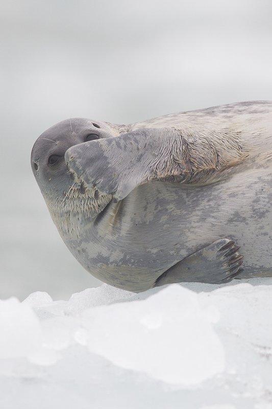 Svalbard Foca anillada-Ringed seal-(Pusa hispida) - Svalbard - Iñigo Bernedo, Fotografía