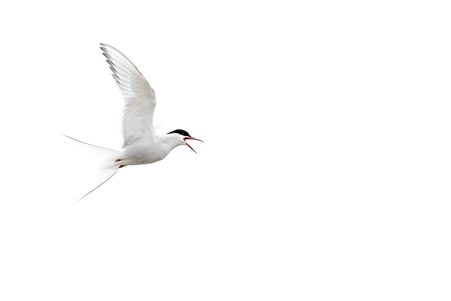 Svalbard Charran Artico-Arctic Tern-(Sterna paradisaea) - Svalbard - Iñigo Bernedo, Fotografía