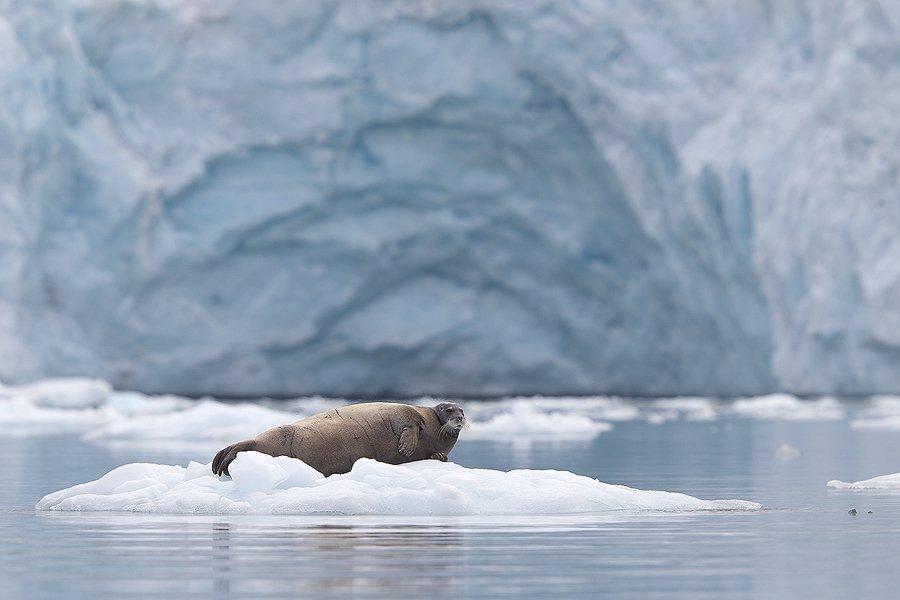 Svalbard Foca barbuda-Bearded seal-(Erignathus barbatus) - Svalbard - Iñigo Bernedo, Fotografía