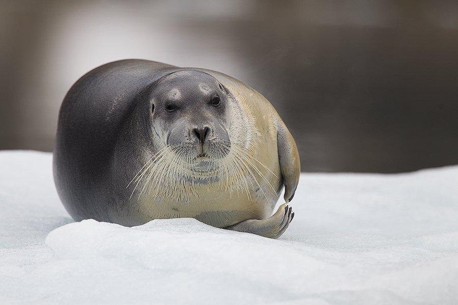 Svalbard Foca barbuda-Bearded seal-(Erignathus barbatus) - Mamíferos - Iñigo Bernedo, Fotografía