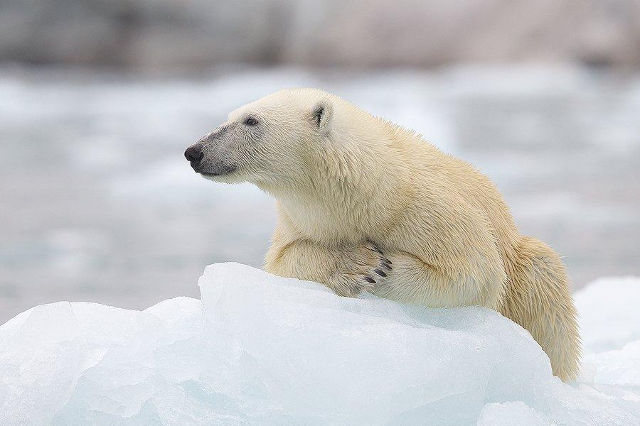 Glaciar en Svalbard Oso Polar-Polar Bear-(Ursus Maritimus) - Mamíferos - Iñigo Bernedo, Fotografía