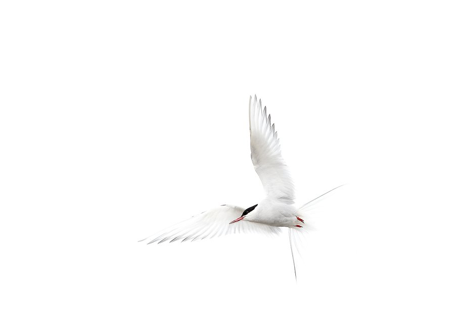 Svalbard Charran Artico-Arctic Tern-(Sterna paradisaea) - Aves - Iñigo Bernedo, Fotografía