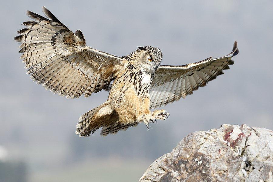 Buho Real-Eagle-Owl-(Buho buho) - Aves - Iñigo Bernedo, Fotografía