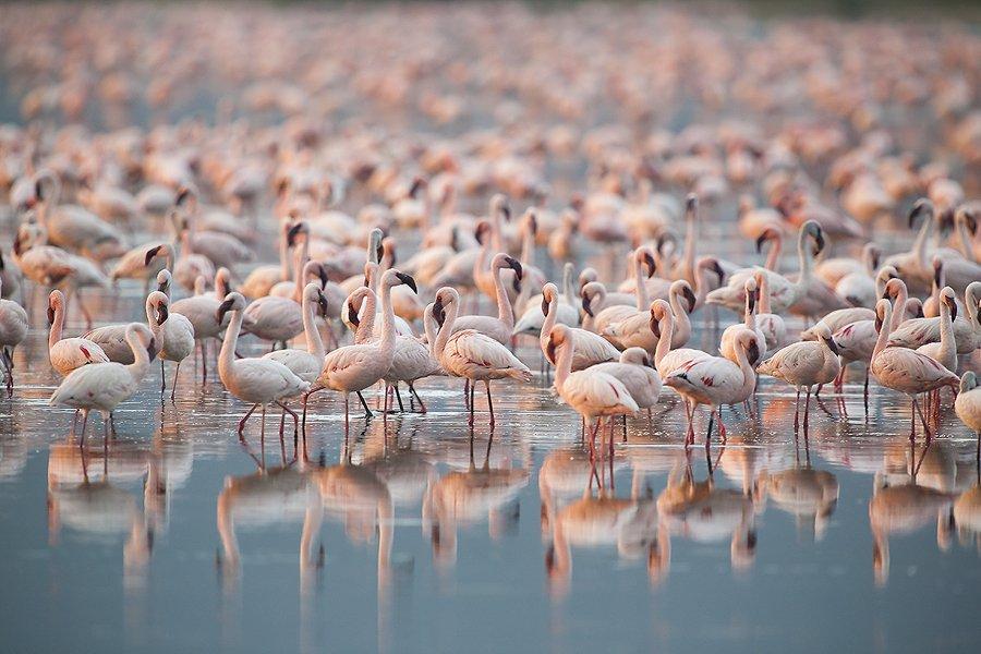 Flamenco Enano-(Lesser flamingo)-Phoeniconaias minor - Aves - Iñigo Bernedo, Fotografía