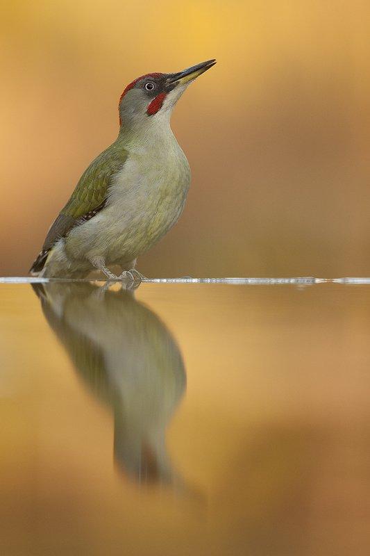 Pito Real-European Green Woodpecker-(Piars Viridis) - Aves - Iñigo Bernedo, Fotografía