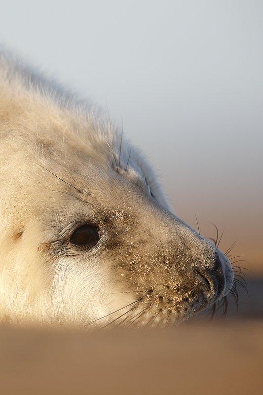 Foca Gris-Grey seal-(Halichoerus grypus) - Mamíferos - Iñigo Bernedo, Fotografía