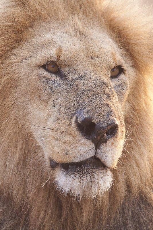 Leon-Lion-(Panthera leo) MasaiMara - Mamíferos - Iñigo Bernedo, Fotografía