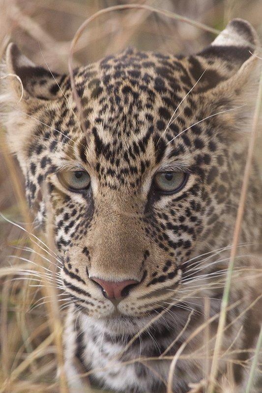 Leopardo-Leopard-(Panthera pardus) MasaiMara - Mamíferos - Iñigo Bernedo, Fotografía