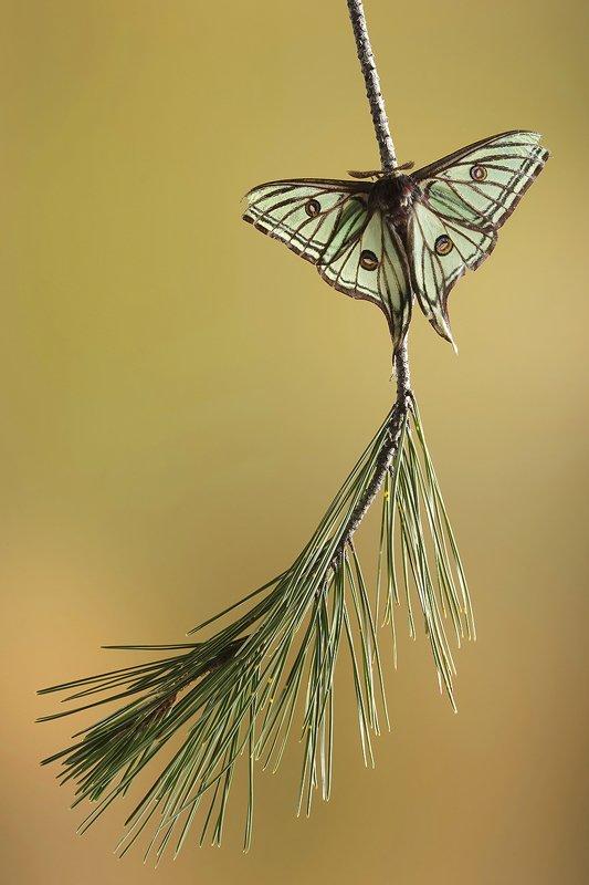 Graellsia Isabelae-Spanish Moon Moth-(Actias isabellae) - Macro - Iñigo Bernedo, Fotografía