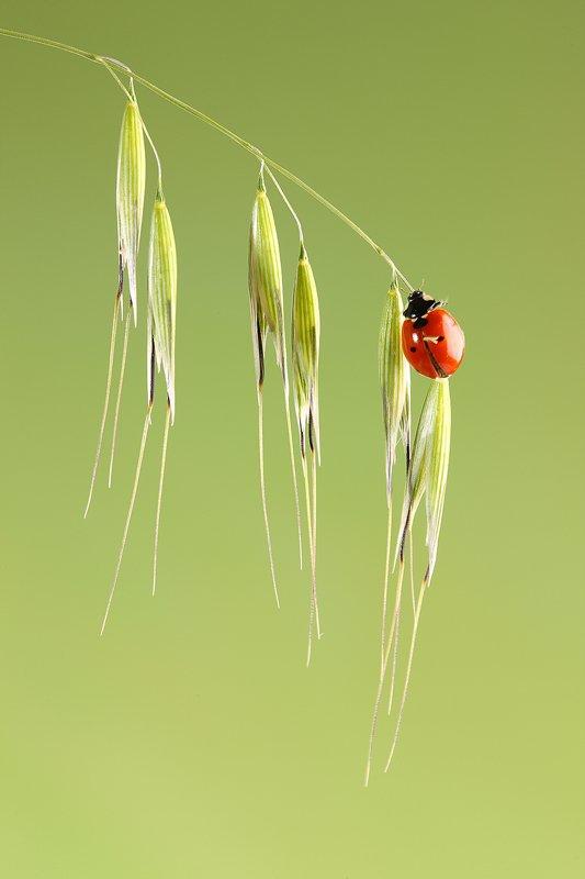 Mariquita-Ladybird -(Coccinellidae) - Macro - Iñigo Bernedo, Fotografía