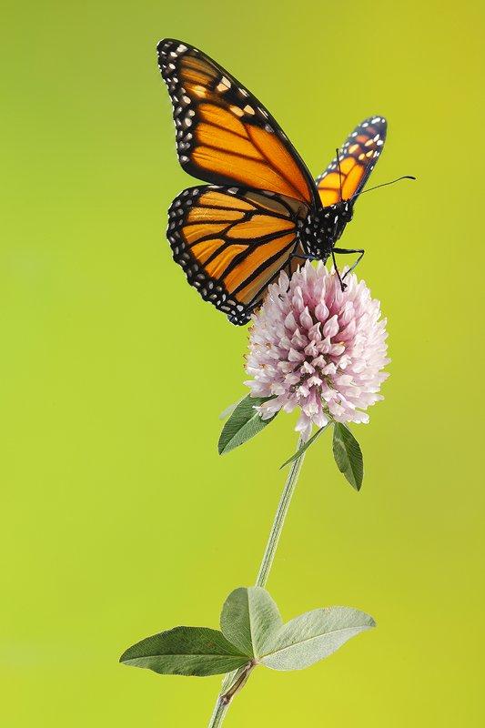 Mariposa Monarca-Monarch Butterfly -(Danaus Plexippus) - Macro - Iñigo Bernedo, Fotografía
