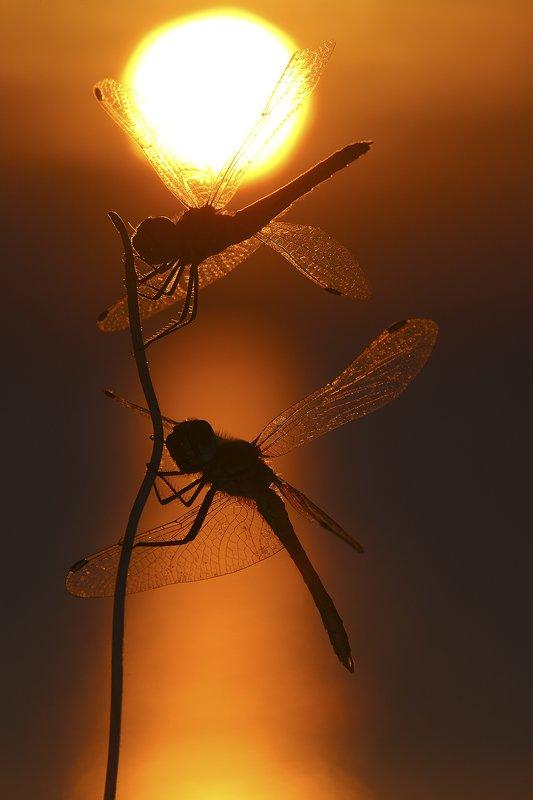 Libelura Roja-Dragonfly -(Sympetrum striolatum) Libelulas al amanecer Delta del Ebro - Macro - Iñigo Bernedo, Fotografía