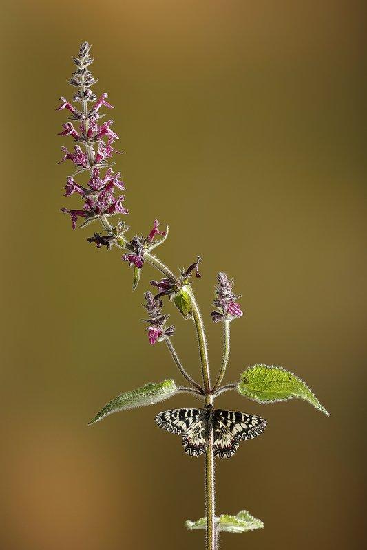 Mariposa arlequín- Spanish Festoon-(Zerynthia  polyxena) - Macro - Iñigo Bernedo, Fotografía