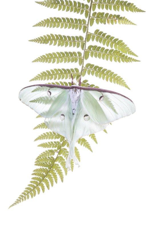 Mariposa Luna-Luna Moth-(Actias luna) - Estudio en el Campo - Iñigo Bernedo, Fotografía