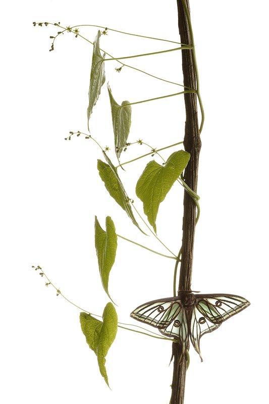 Graellsia Isabelae-Spanish Moon Moth-(Actias isabellae) - Estudio en el Campo - Iñigo Bernedo, Fotografía