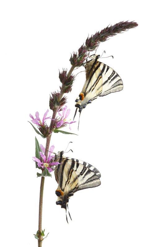 Mariposa Chupa leches-Scarce Swallowtail-(Iphiclides podalirius) - Estudio en el Campo - Iñigo Bernedo, Fotografía