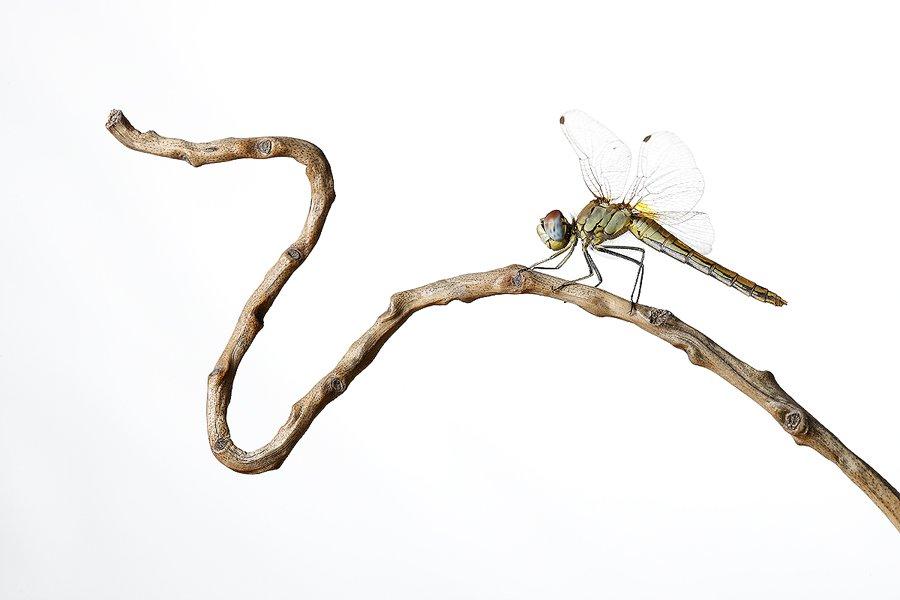 Libelura Roja-Dragonfly -(Sympetrum striolatum) - Estudio en el Campo - Iñigo Bernedo, Fotografía