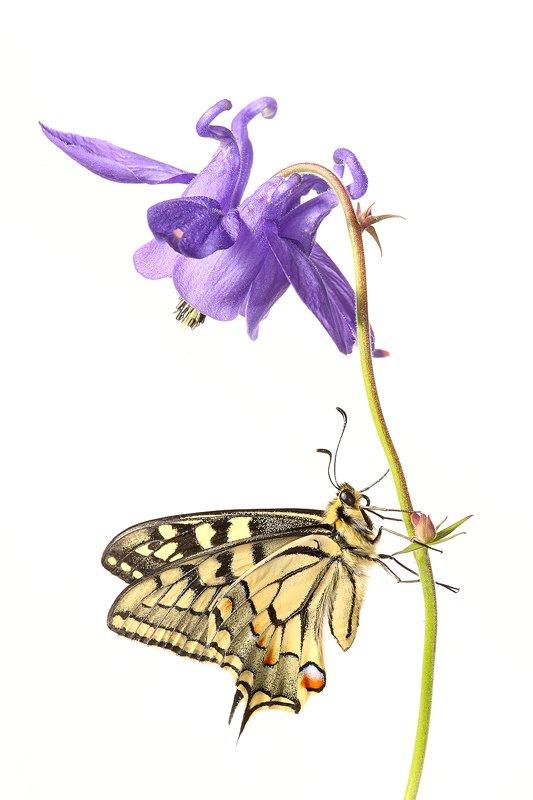 Mariposa de Papilio Machaon-Old World Swallowtail -(Papilio Machaon) - Estudio en el Campo - Iñigo Bernedo, Fotografía