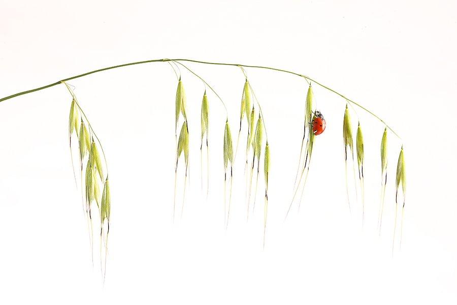 Mariquita-Ladybird -(Coccinellidae) - Estudio en el Campo - Iñigo Bernedo, Fotografía