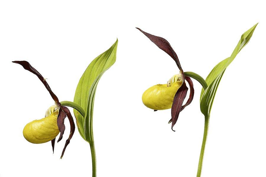 Zapatito de Dama Orquidea-Lady´s-slipper orchid -(Cipripedium calceolus) - Estudio en el Campo - Iñigo Bernedo, Fotografía
