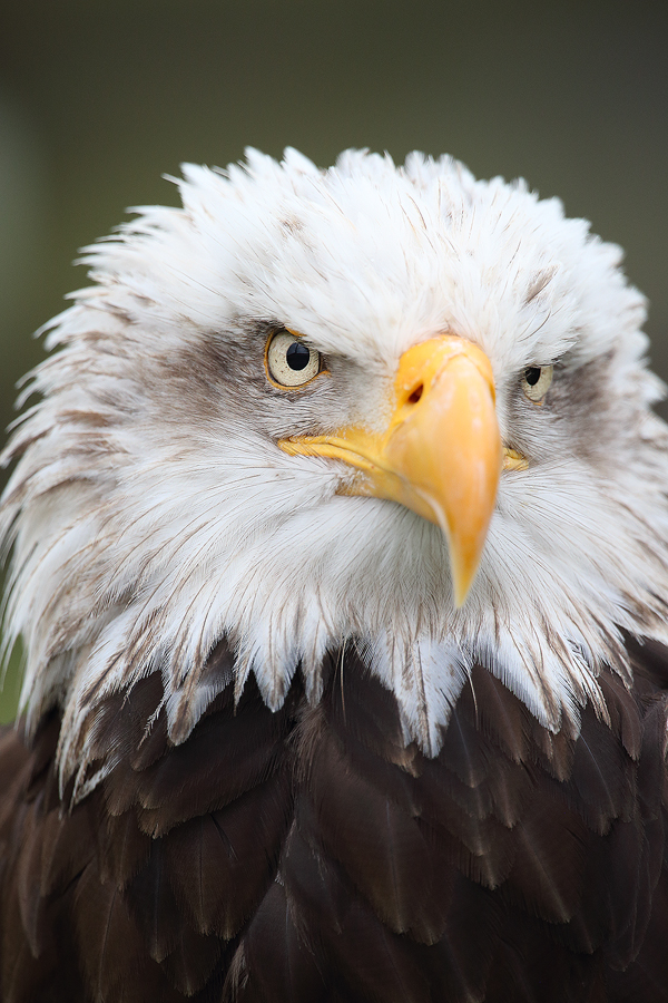 Aguila Calva (Haliaeetus leucocephalus) - Aves - Iñigo Bernedo, Fotografía