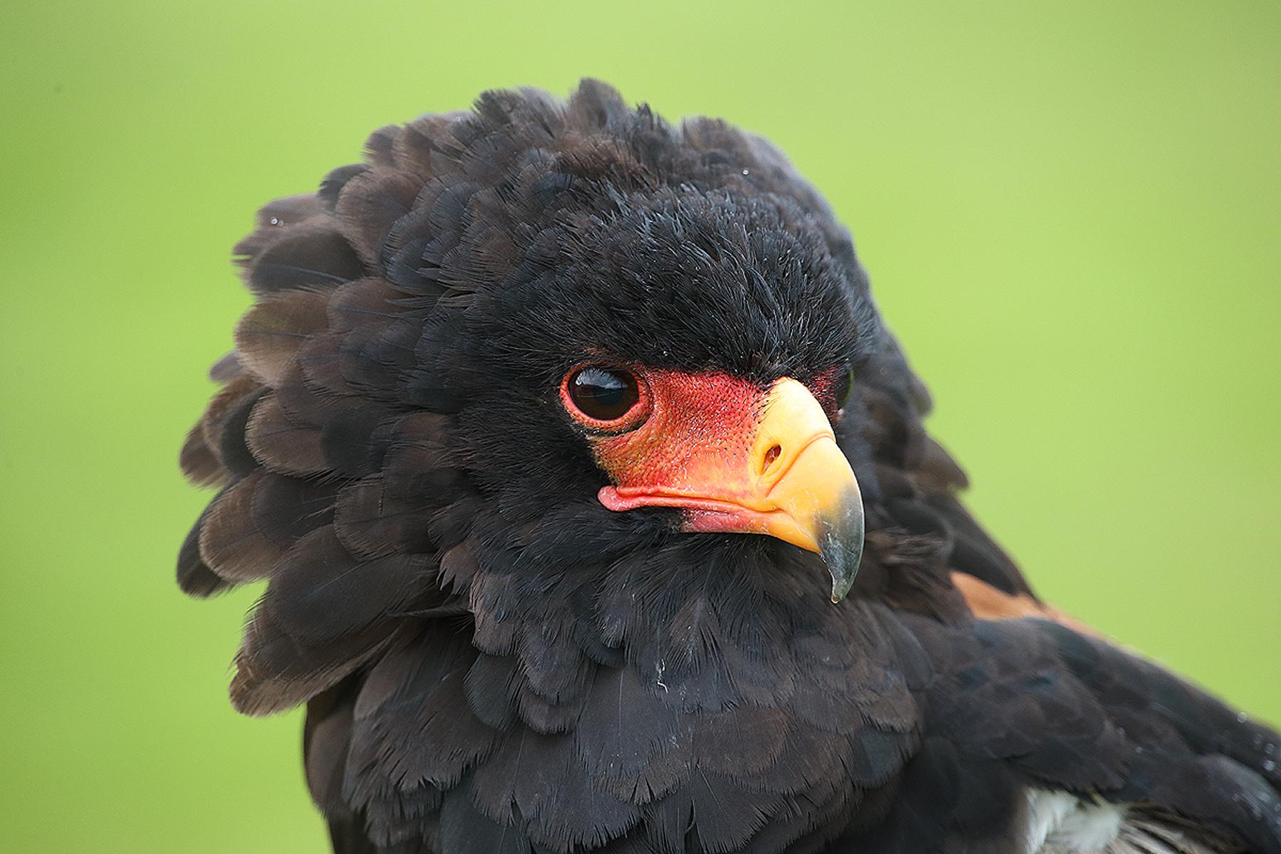 Aguila Volatinera (Terathopius ecaudatus) - Aves - Iñigo Bernedo, Fotografía