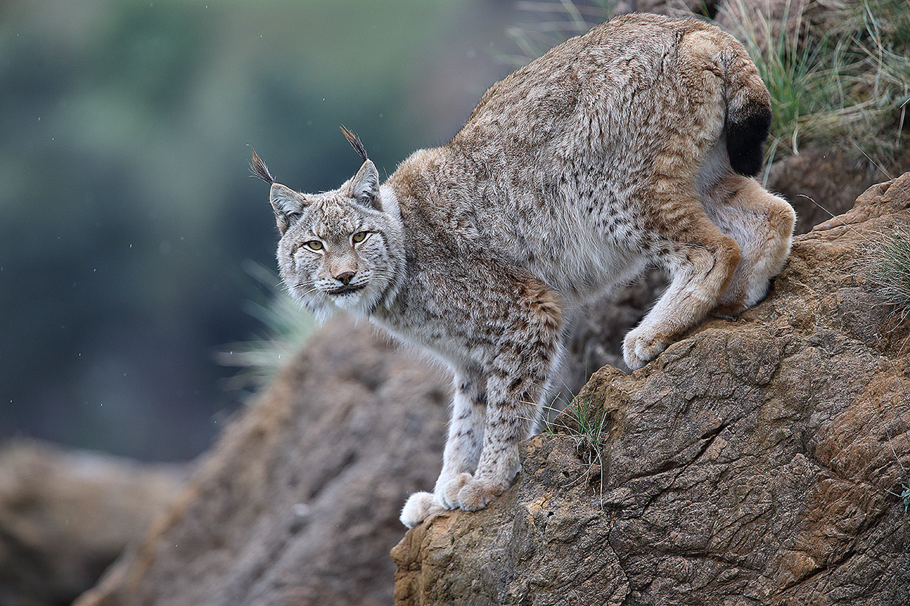 Lince Boreal (Lynx lynx) - Mamíferos - Iñigo Bernedo, Fotografía