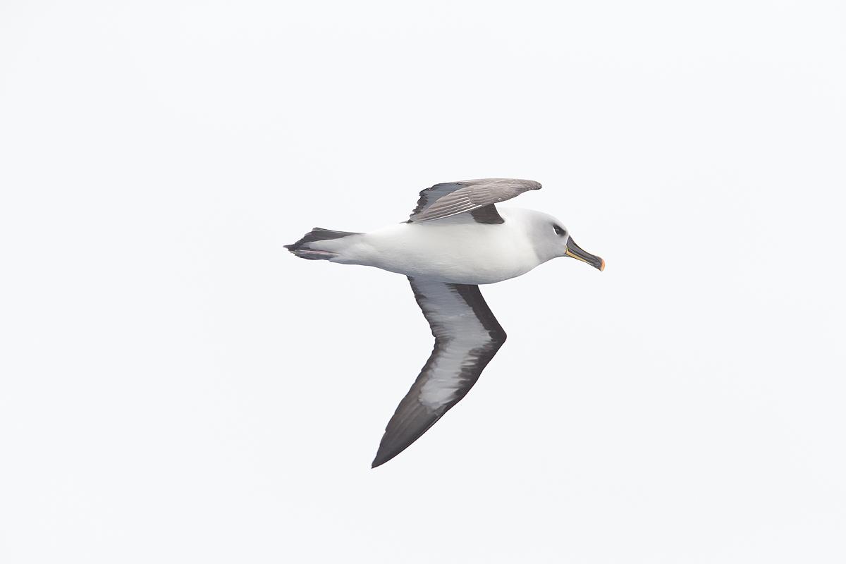 Albatros de ceja negra- Black-Browed Albatross- (Thalassarche melanophrys) - Antártida - Iñigo Bernedo, Fotografía