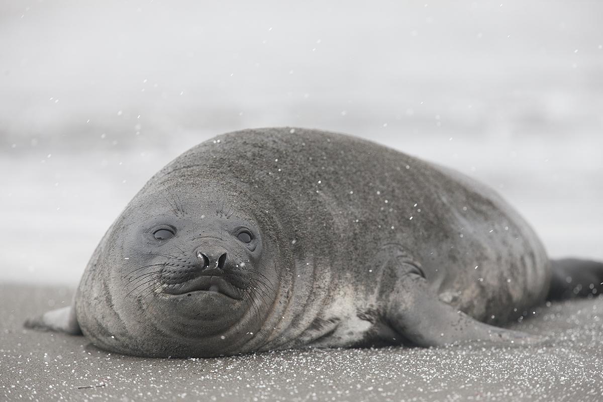 Elefante marino del sur- Souther elephant seal- (Mirounga leonina) - Antártida - Iñigo Bernedo, Fotografía