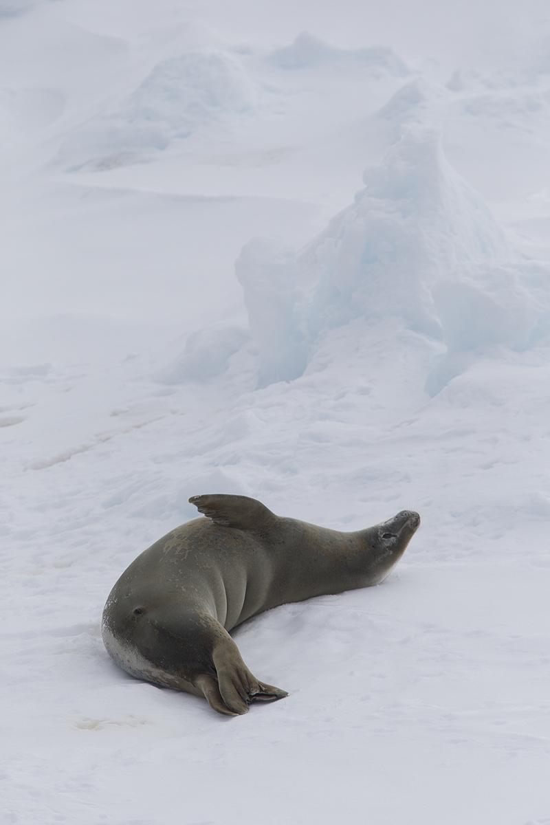 Foca de Weddell- Weddel seal- (Leptonychotes weddellii) - Antártida - Iñigo Bernedo, Fotografía