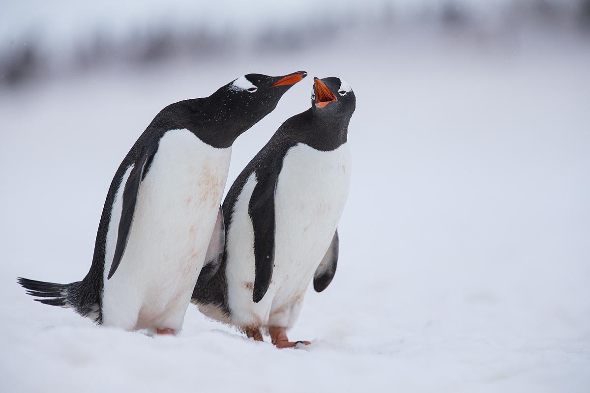 Pinguino Juanito - Gentoo penguin - (Pygoscelis papua) - Pingüinos - Iñigo Bernedo, Fotografía