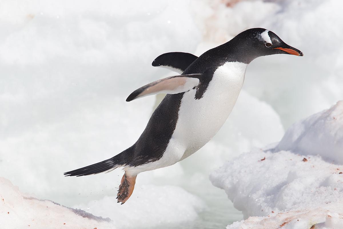 Pinguino Juanito - Gentoo penguin - (Pygoscelis papua) - Pinguino Juanito - Gentoo penguin - (Pygoscelis papua) - Iñigo Bernedo, Fotografía