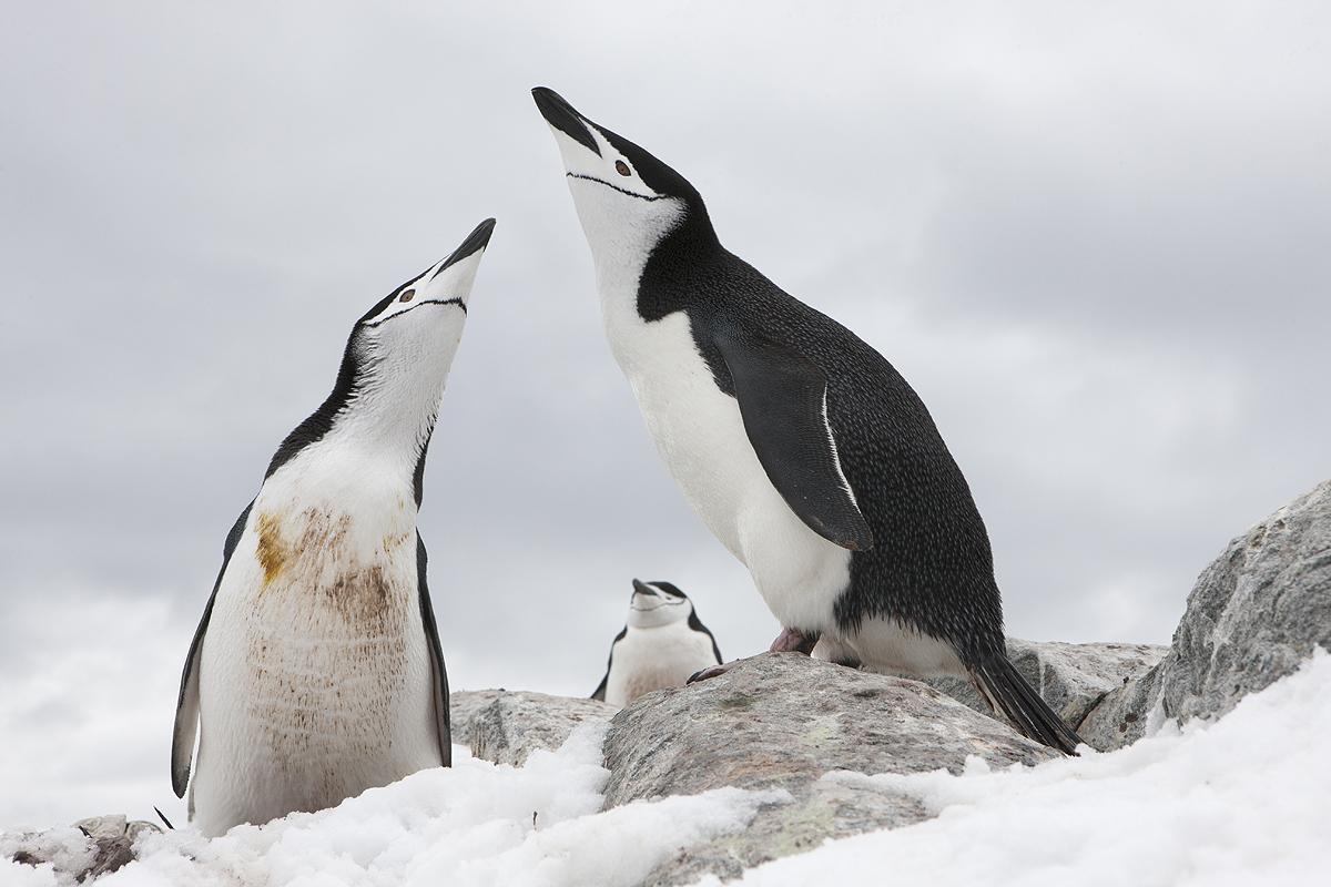 Pinguino Barbijo - Chinstrap penguins - (Pygoscelis antarctica) - Pinguino Barbijo - Chinstrap penguins - (Pygoscelis antarctica) - Iñigo Bernedo, Fotografía