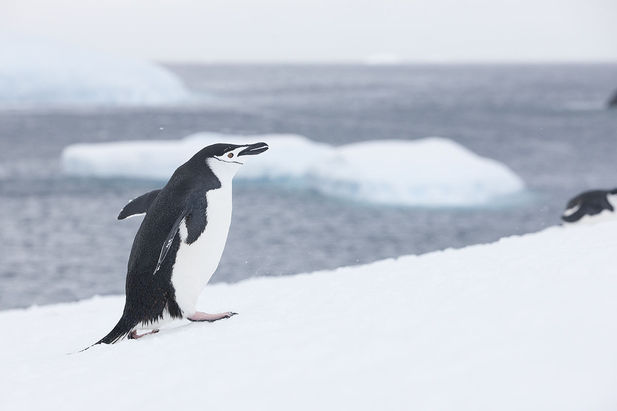 Pinguino Barbijo - Chinstrap penguins - (Pygoscelis antarctica) - Pingüinos - Iñigo Bernedo, Fotografía