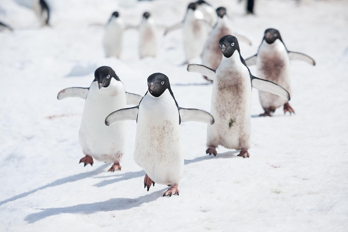 Pinguino Adelia - Adelie penguin - (Pygoscelis adeliae) - Pingüinos - Iñigo Bernedo, Fotografía