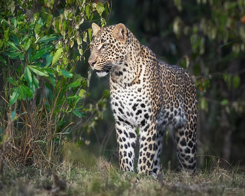 Masai Mara 2019 - Leopardos - Isaac Loiola, Photography