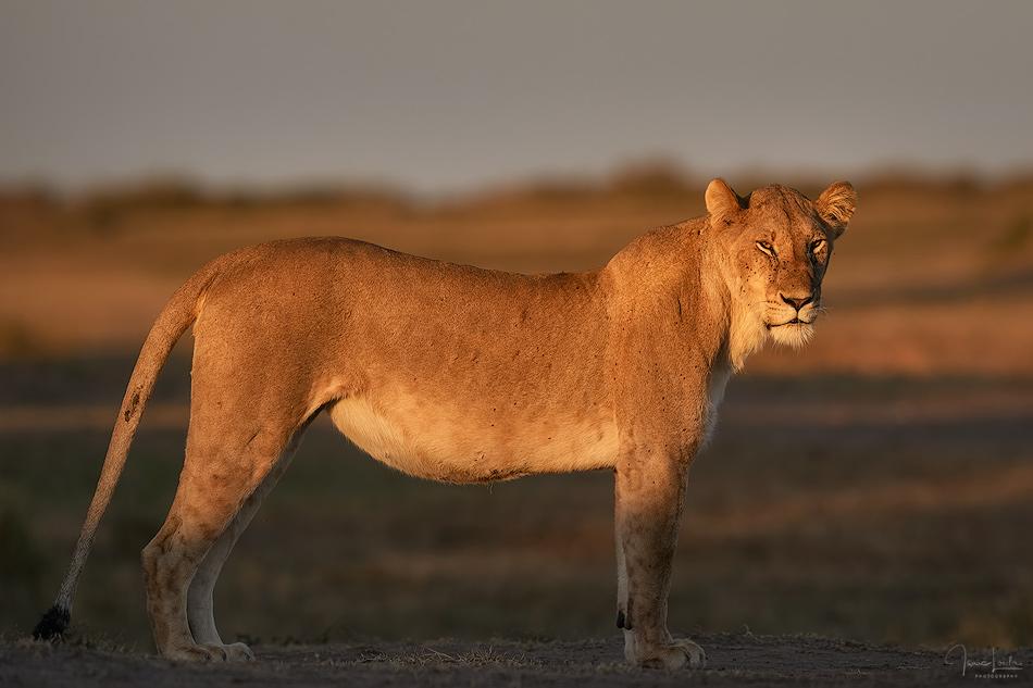 Masai Mara 2019 - Leones - Isaac Loiola, Photography