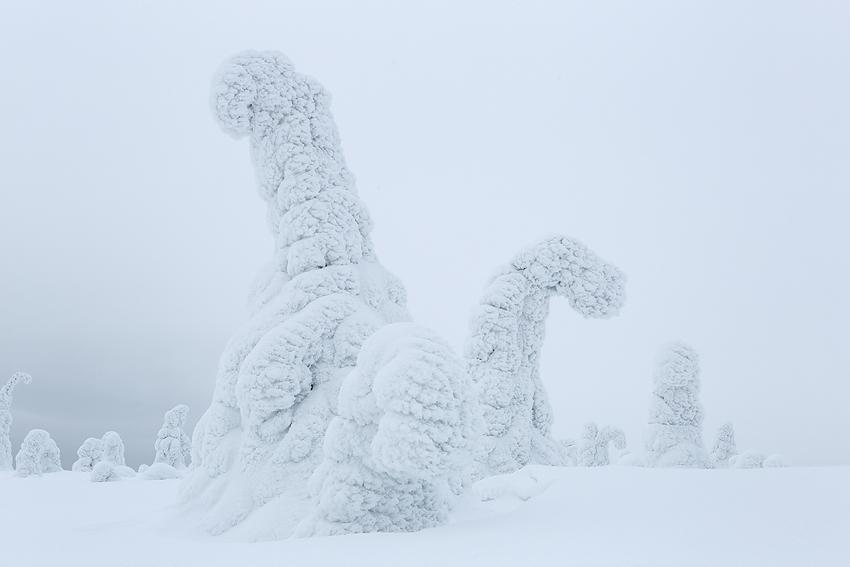 Dinos, Riisitunturi, Finlandia, Febrero 2013. - La taiga - Isabel Díez . Bosque Boreal . Finlandia