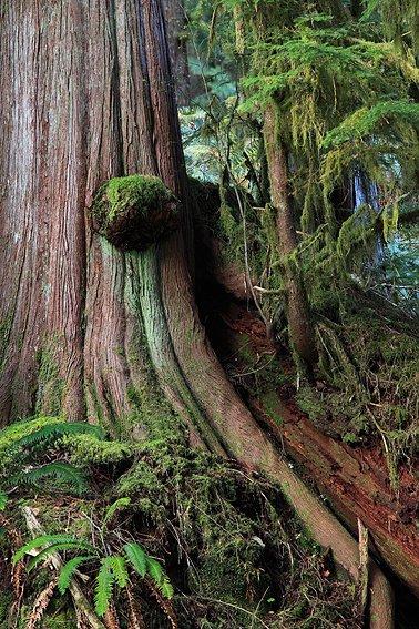 Hoh Rain Forest, Olympic National Park, Washington, Abril 2011. - Bosque lluvioso templado - Isabel Díez . Bosque templado lluvioso