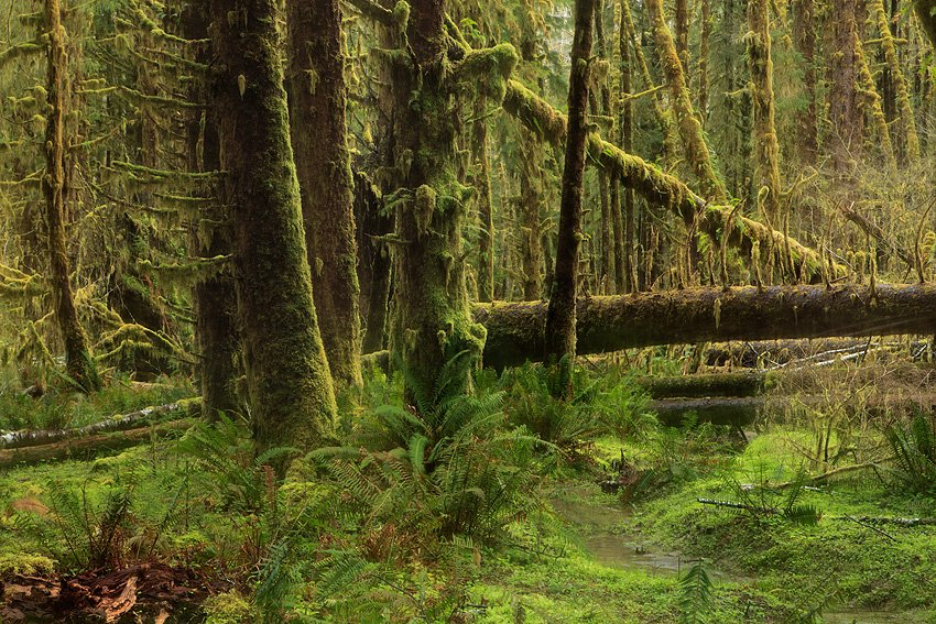 Queets Rain Forest, Olympic National Park, Washington, Abril 2011. - Bosque lluvioso templado - Isabel Díez . Bosque templado lluvioso
