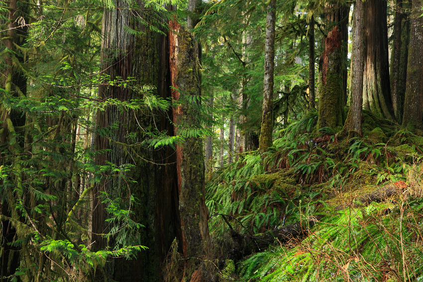 Quinault Rain Forest, Olympic National Park, Washington, Abril 2011. - Bosque lluvioso templado - Isabel Díez . Bosque templado lluvioso