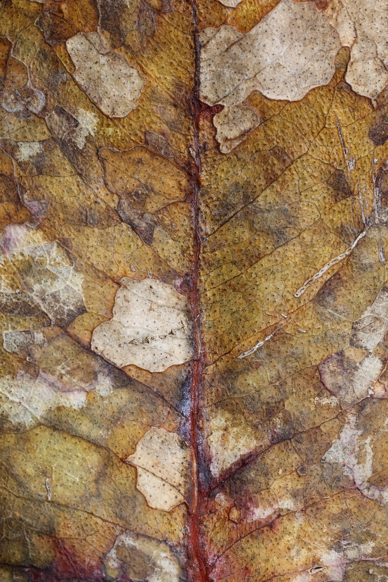 Mors folium II - La Belleza de la Senescencia II