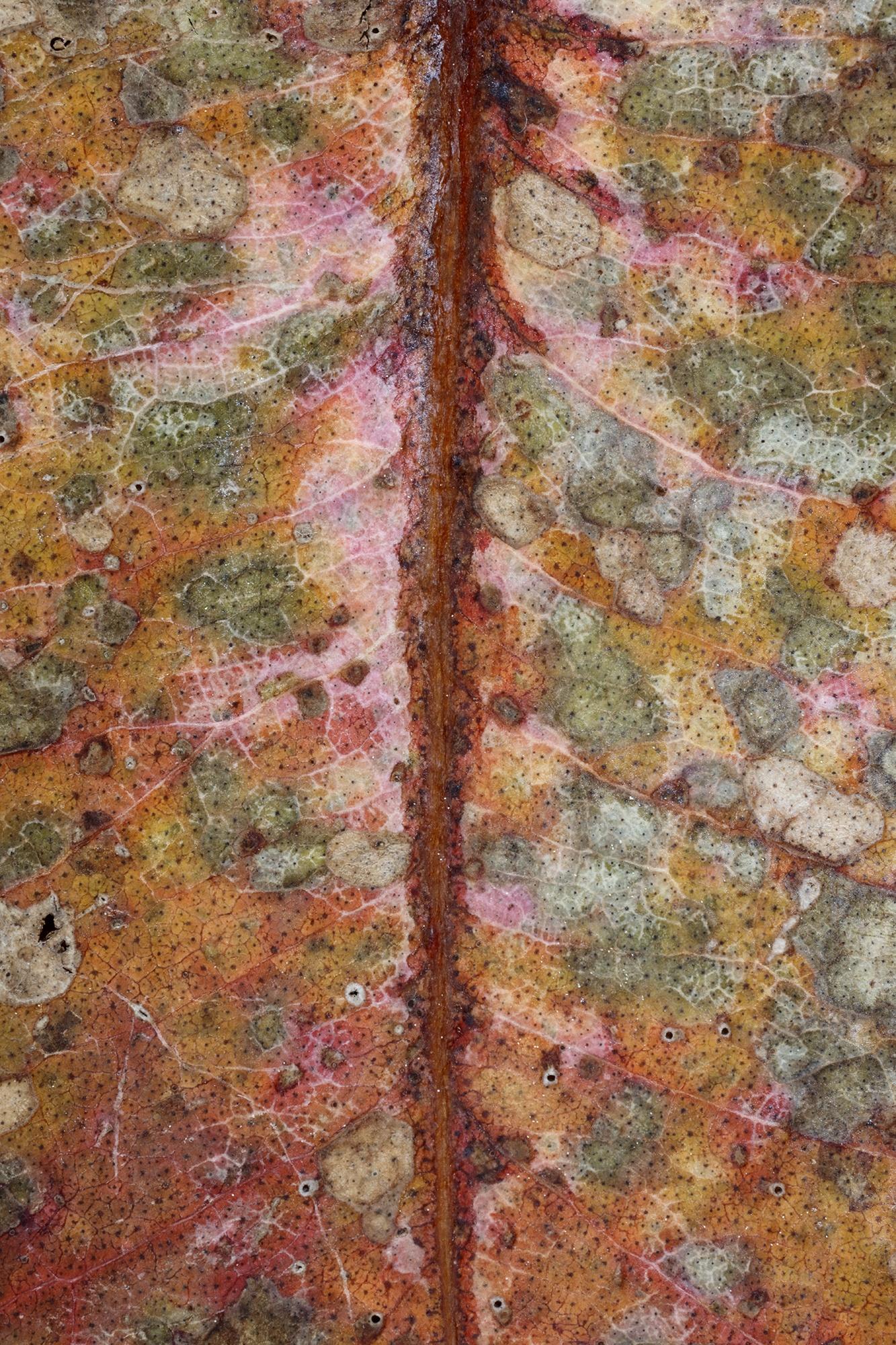 Mors folium II - The Beauty of Senescence II