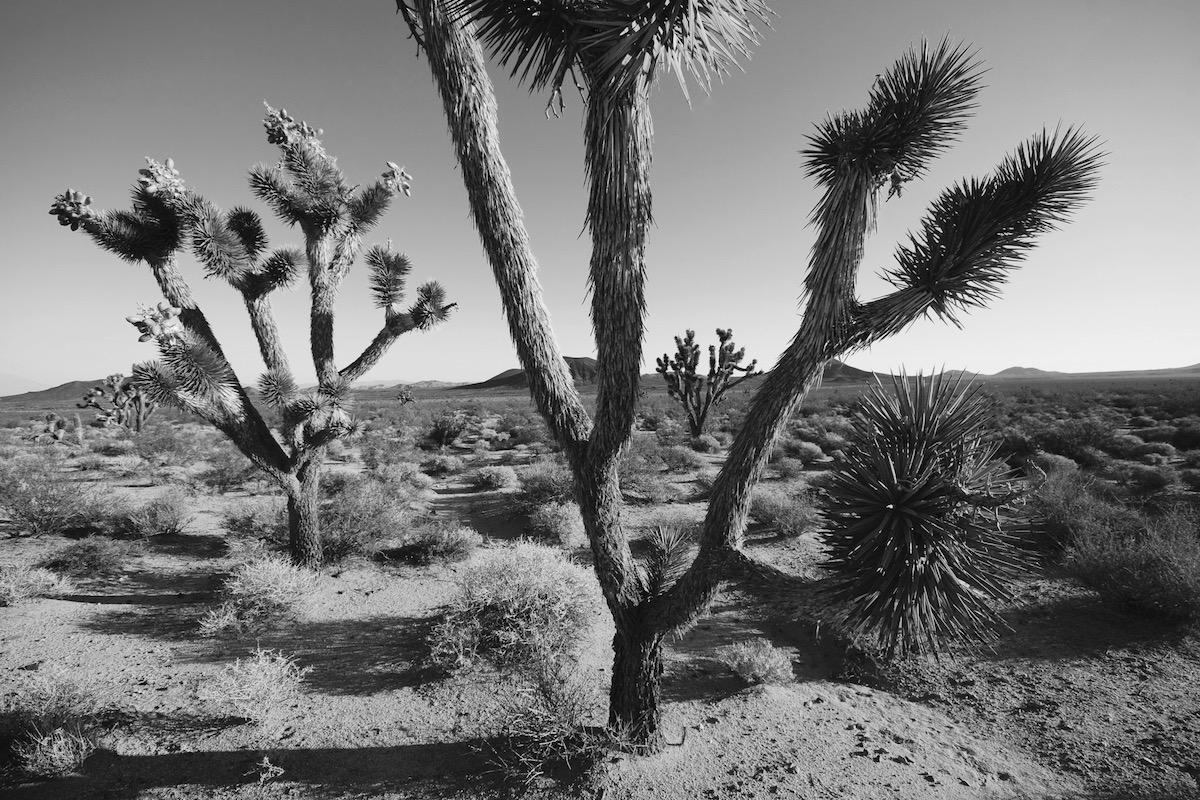 Joshua Trees, California - en blanco y negro - JESUS RODRIGUEZ, FOTOGRAFIA DE NATURALEZA