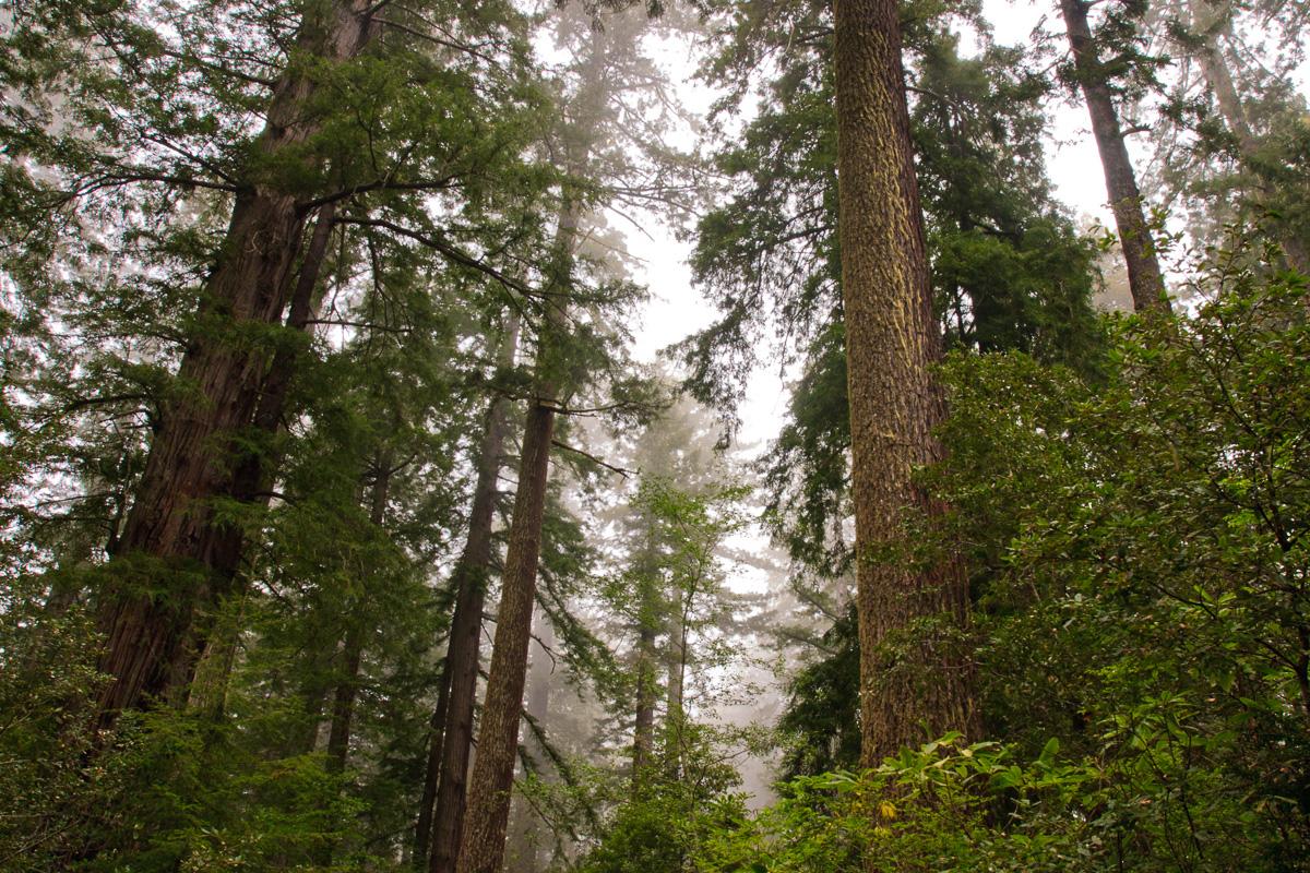 Redwoods. California - un bosque - JESUS RODRIGUEZ, photography