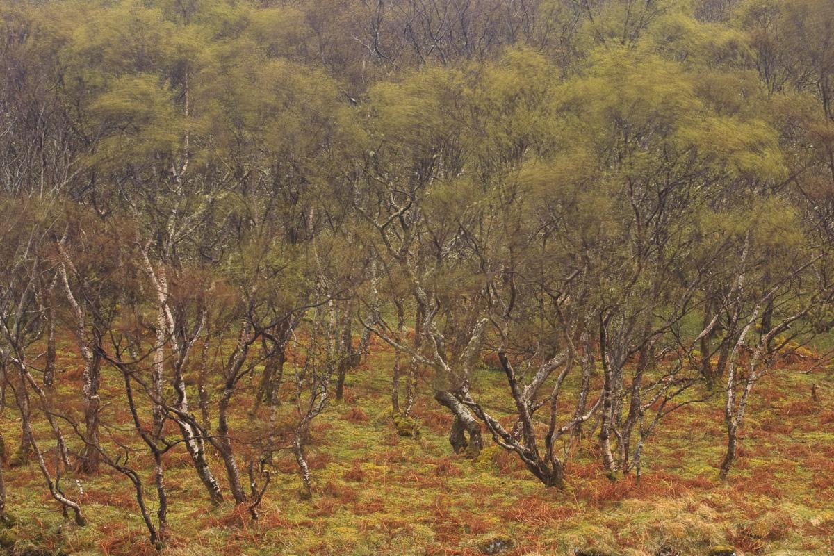 Highlands. Escocia - un bosque - JESUS RODRIGUEZ, photography