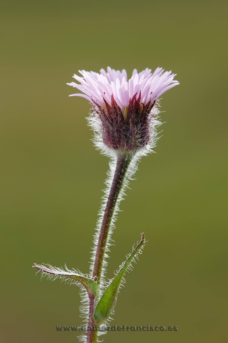 Erigon borealis. Islandia - Mundo vegetal - J L Gómez de Francisco. Fotografía de plantas - Phtography of plants