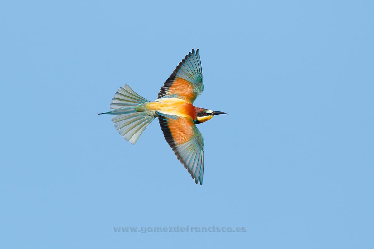Abejaruco (Merops apiaster). La Rioja - En el cielo - J L Gómez de Francisco. Fotografía de animales en el aire - Photograhy of animals in the air